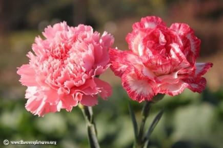 Carnation flower picture (43)   Carnation flower pictures, Carnation  flower, Flower pictures