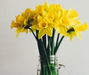 Free Photo: Bunch of Yellow Daffodils in a Glass Vase on a Wooden Table