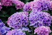 Tips for Planting Hydrangeas   Our State