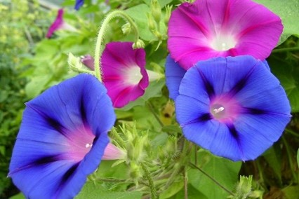 Morning Glory, Color Mix   San Diego Seed Company