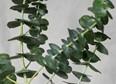 Shop Organic Eucalyptus Oil   100% Pure Essential Oils   VITRUVI